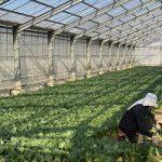 小松菜栽培の風景