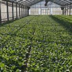 TSURUOKAファーム小松菜農園